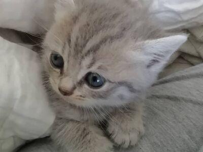 Ласковый игривый британский котёнок